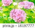 シャボン玉 紫陽花 花の写真 16197777