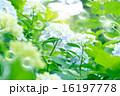 シャボン玉 紫陽花 花の写真 16197778
