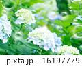 シャボン玉 紫陽花 花の写真 16197779