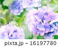 シャボン玉 あじさい 花の写真 16197780