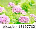 シャボン玉 あじさい 花の写真 16197782
