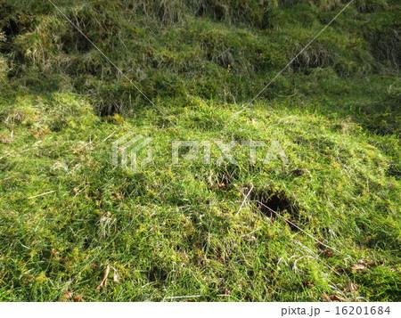 御在所岳 芝 / Mt.Gozaisho Lawn Grass 16201684