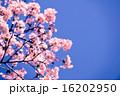 Sakura 16202950