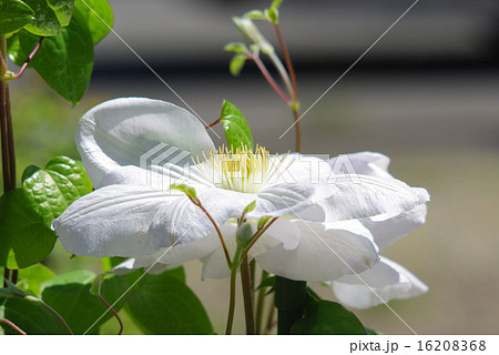 白いクレマチス 横画像 16208368