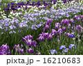 花菖蒲 16210683