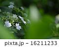 開花 アジサイ科 花の写真 16211233