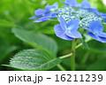 開花 花 紫陽花の写真 16211239