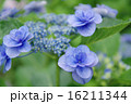 開花 花 紫陽花の写真 16211344