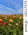 あわじ花さじき シベリアヒナゲシ アイスランドポピーの写真 16217076