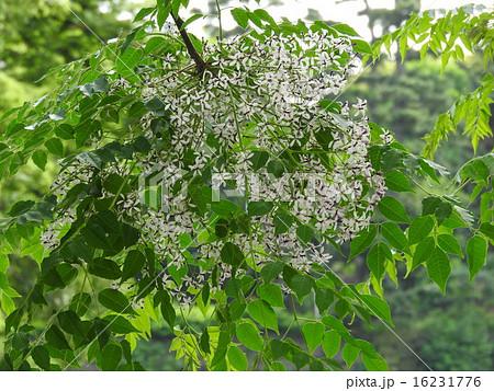 栴檀は双葉より芳し、の諺があるがその香木がこれ。白檀の異称である。 16231776