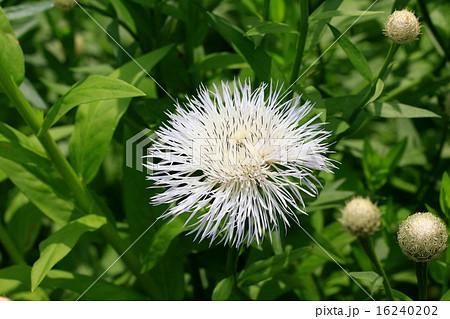 白いセントーレア・アメリカーナの花 16240202