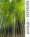 竹林 自然 緑色の写真 16246266