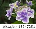 山紫陽花 16247251