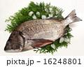鯛 チヌ 黒鯛の写真 16248801