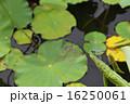 シオカラトンボと蓮の葉 16250061