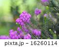 開花したエリカ 16260114