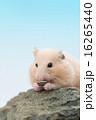 ひまわりの種を食べるキンクマハムスター 16265440