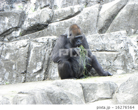 ゴリラ山で食事をするゴリラ 16276564