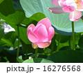 千葉公園の咲き始めたオオガハスの桃色の花 16276568