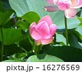 千葉公園の咲き始めたオオガハスの桃色の花 16276569