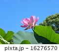 千葉公園のオオガハスの桃色の花 16276570