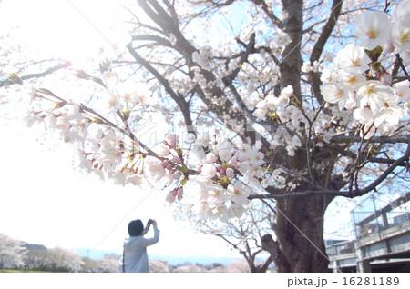 満開の桜と写真を撮る人 16281189