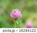 赤詰草 花 花虻の写真 16284122