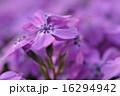 花詰草 ハナシノブ科 花爪草の写真 16294942