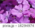 花詰草 ハナシノブ科 花爪草の写真 16294974