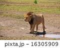 ケニア ライオン 16305909