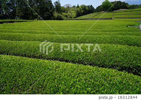 茶畑 16312844