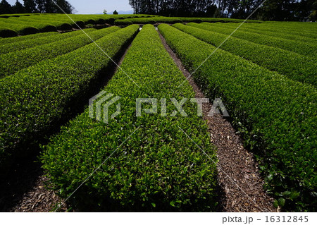 茶畑 16312845