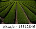 茶畑 16312846