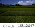 茶畑 16312847
