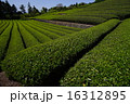 茶畑 16312895