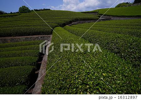 茶畑 16312897