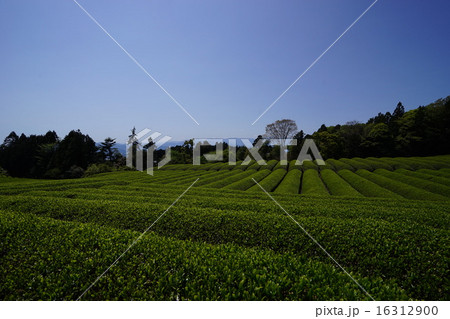 茶畑 16312900