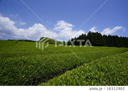 茶畑 16312902