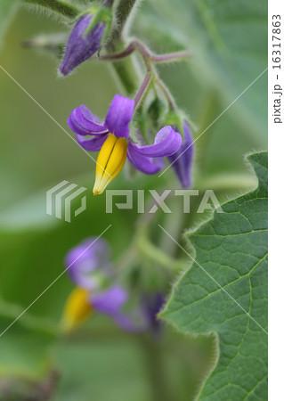 ツノナス・イエローチックの花 16317863