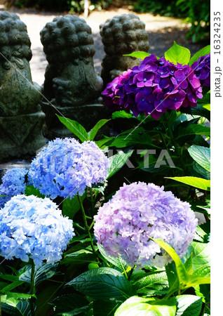 紫陽花と狛犬 16324235