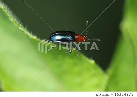 生き物 昆虫 ヤマイモハムシ、赤と紺の美しい昆虫ですが山の芋栽培農家にとって厄介な虫です① 16324375