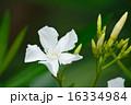 キョウチクトウ 花 植物の写真 16334984