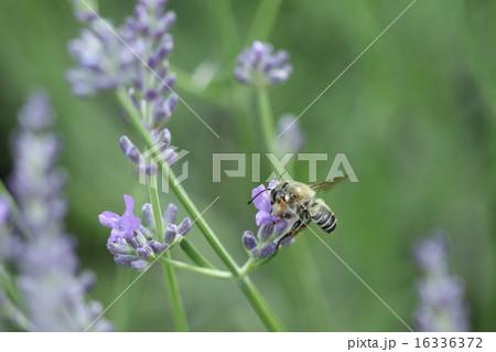 生き物 昆虫 ムナカタハキリバチ、メス。『スミゾメハキリバチ』のオス。触角の先と前脚に特徴があります 16336372