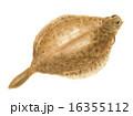 鰈 メイタガレイ 魚のイラスト 16355112