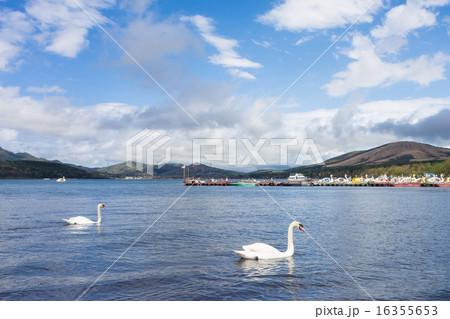 山中湖の白鳥 16355653