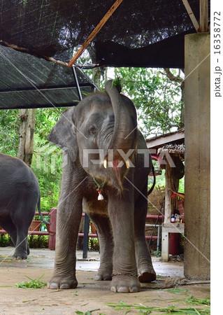 鼻を高く上げる小象 16358772