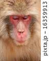 ニホンザル 哺乳類 陸の哺乳類の写真 16359913