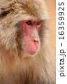 ニホンザル 哺乳類 陸の哺乳類の写真 16359925