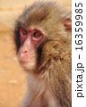 ニホンザル 哺乳類 陸の哺乳類の写真 16359985