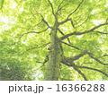 森の木 イラスト 16366288
